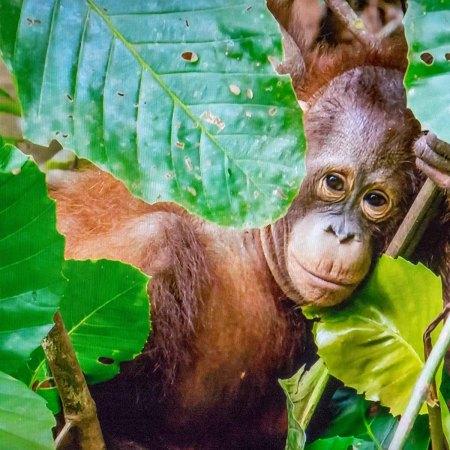 Orangutan3