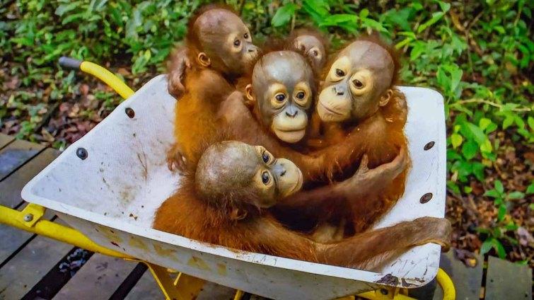 Orangutan4